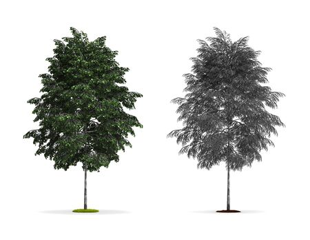 Silver Birch Tree. High resolution 3D illustration isolated on white.