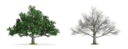 Oak Tree. High resolution 3D illustration isolated on white.