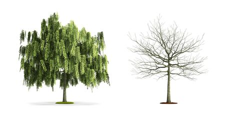 White Willow Tree. High resolution 3D illustration isolated on white. Zdjęcie Seryjne