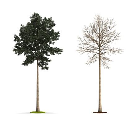 Pine Tree. High resolution 3D illustration isolated on white. Zdjęcie Seryjne