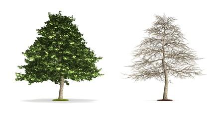Alder Tree. High resolution 3D illustration isolated on white. Zdjęcie Seryjne