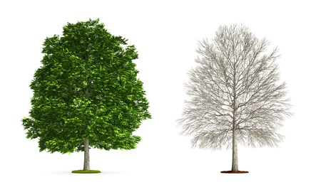 Ash Tree. High resolution 3D illustration isolated on white.