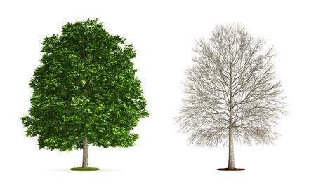 Ash Tree. Illustrazione 3D ad alta risoluzione isolato su bianco. Archivio Fotografico