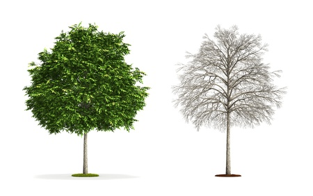 Small Ash Tree. High resolution 3D illustration isolated on white. Zdjęcie Seryjne