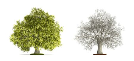 Honey Locust Tree. High resolution 3D illustration isolated on white.