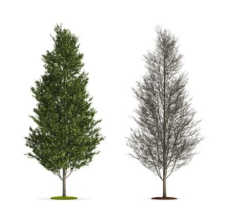 Tall Aspen Tree. High resolution 3D illustration isolated on white.