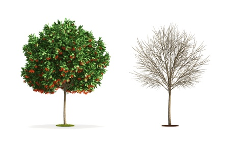 european rowan: European Rowan Tree. High resolution 3D illustration isolated on white.