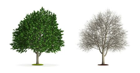 Elm Tree. High resolution 3D illustration isolated on white.
