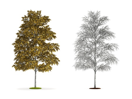 european white birch: European White Birch Tree. High resolution 3D illustration isolated on white. Stock Photo