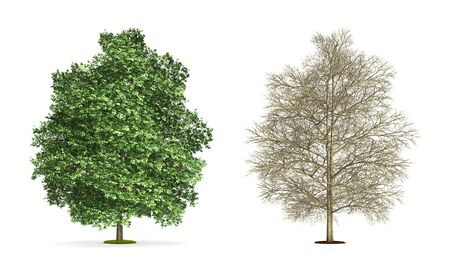 Chestnut Tree. High resolution 3D illustration isolated on white.