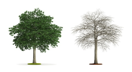 Lebanon Cedar Tree. High resolution 3D illustration isolated on white.