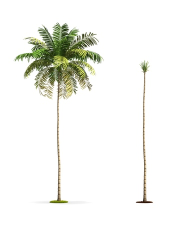 Palm Tree. High resolution 3D illustration isolated on white. Stok Fotoğraf