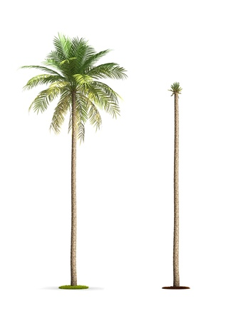 date palm: Date Palm Tree. High resolution 3D illustration isolated on white.