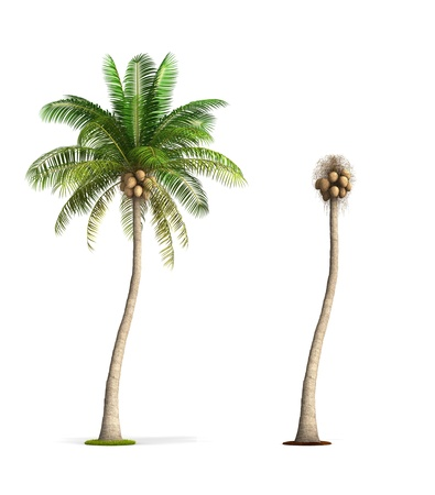 ココナッツ、ヤシの木。高解像度 3 D イラストを白で隔離されます。