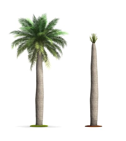 Wine Palm Tree. High resolution 3D illustration isolated on white.