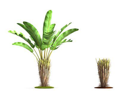 Wild Banana Tree. High resolution 3D illustration isolated on white. Stock Photo
