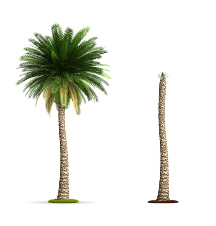 Date Palm Tree. High resolution 3D illustration isolated on white.