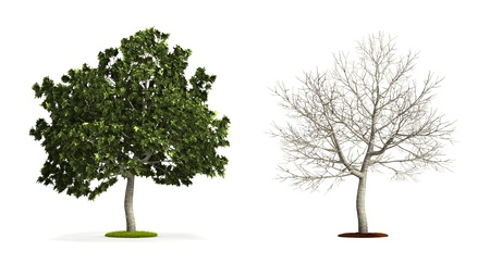 Common Fig Tree. High resolution 3D illustration isolated on white.