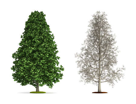 Tall Chestnut Tree  High resolution 3D illustration isolated on white  Imagens