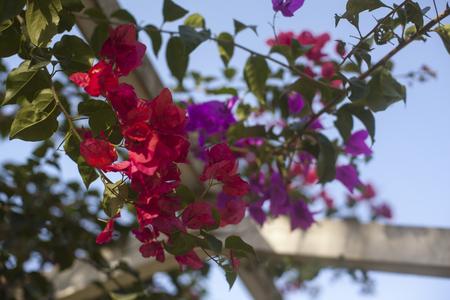 Santa Rita or Bougainvillea pergola close up photo