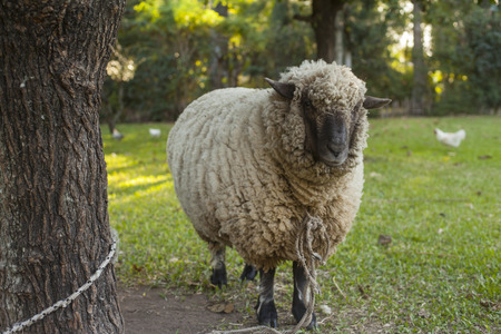 Three year old sheep in farm tied to a tree photo