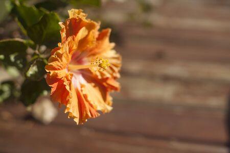 Orange Hibiscus flower Reklamní fotografie