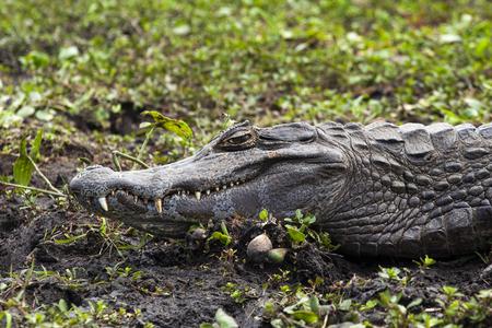 Dark alligator (Caiman yacare) in Esteros del Ibera, Argentina. Warming up in the morning sun.