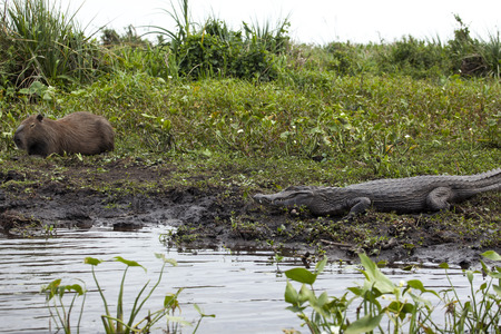 Dark alligator  (Caiman yacare) and Capybara in Esteros del Ibera, Argentina. Warming up in the morning sun.