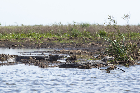 Dark alligators (Caiman yacare) in Esteros del Ibera, Argentina. Warming up in the morning sun.