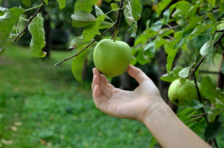Human Hand collecting fresh green apple from the tree in the garden photo