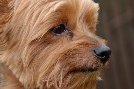 profile picture: Close view Profile picture of the dog head Yorkshire terrier Stock Photo