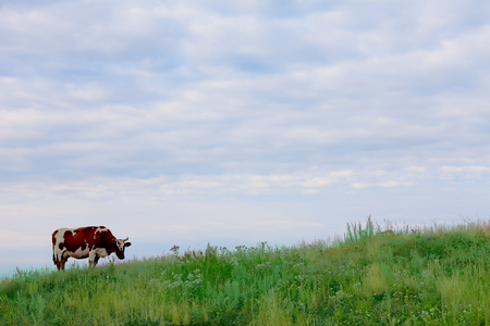 non urban 1: Cow grazing on green grass under blue sky with free space Stock Photo
