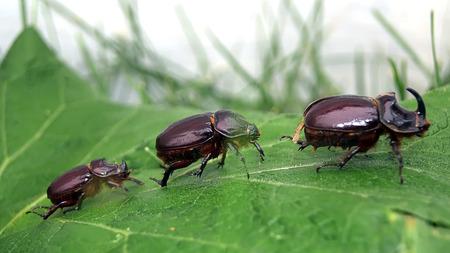 string of rhinos beetles crawling on green leaf photo