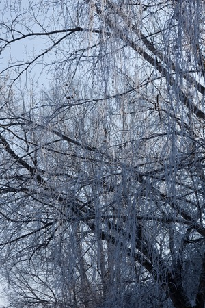 clear day in winter time: Winter branches of trees in hoarfrost on background snow and blue sky