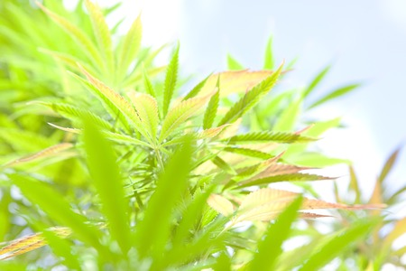 pointing herb: macro shot of a living bush of cannabis
