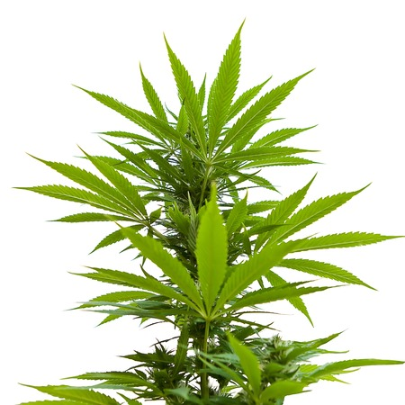 pointing herbs: macro shot of a living bush of cannabis isolated on white background