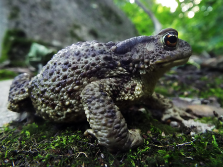 ugliness: Toad big gray wading in natural habitat in forest