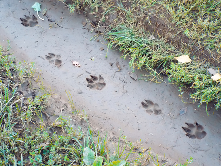 large dog: traces of large dog imprinted in mud on forest path