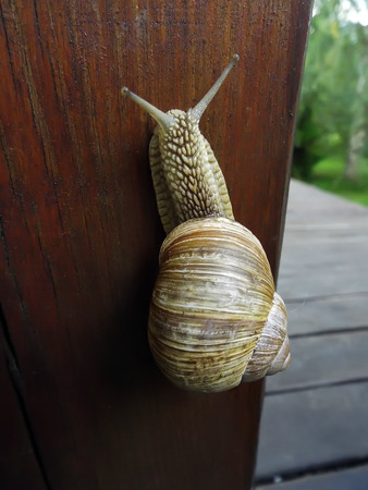 slow motion: snail crawling up wooden board outdoors summer Stock Photo