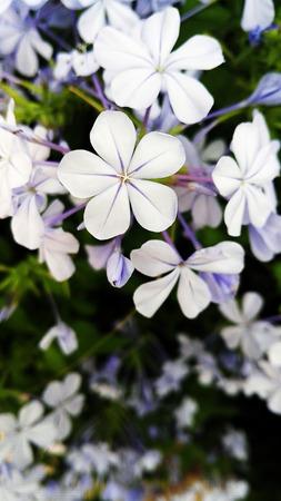 lavender coloured: lilac flower closeup under natural light vertical