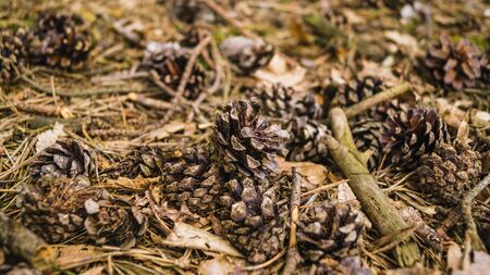 A high angle shot of pine cones and dried branches on the ground under the sun 免版税图像