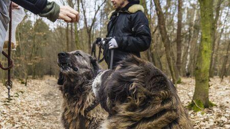 two caucasian shepherd bitches demanding reward for obedience Фото со стока