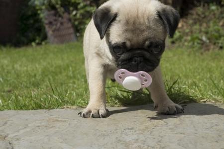 sucks: Pug puppy sucks dummy  Stock Photo