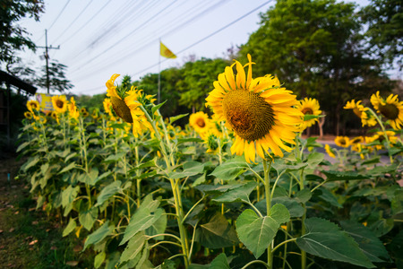 Tuscany sunflowers photo