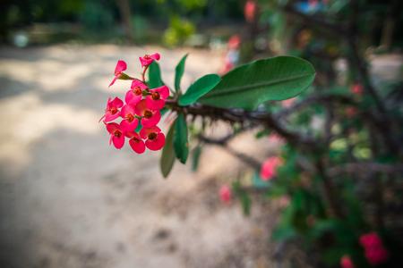 corona de espinas: Corona de espinas flores