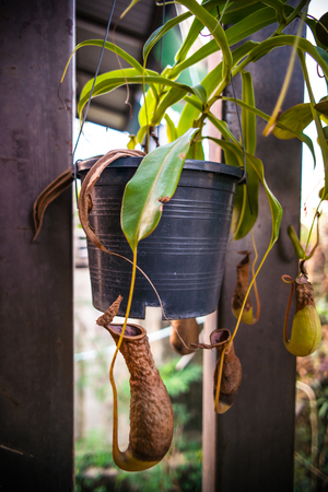 Nepenthes villosa also known as monkey pitcher plant, photo