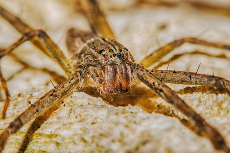 Lynx Spider with nest Macro view soft focus Stock Photo