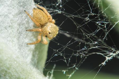 Salticidae jumping spider, Saltines scenics,Hyllus macro view