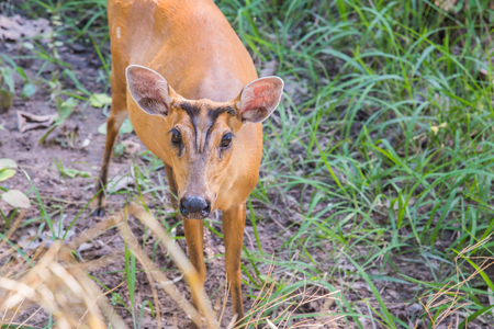 wildanimal: Indian muntjac in cage,Deer wait for food in cage Stock Photo