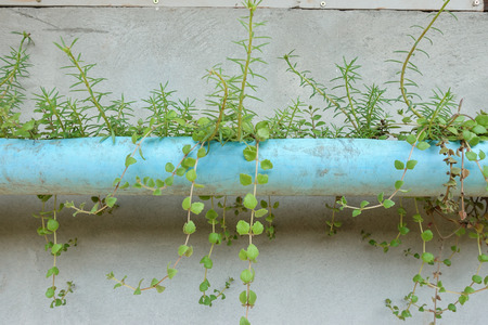 Planted in a plastic bottle.Empty bottles used as plant pots. a recycling efforts Stock Photo